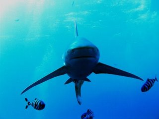 Tiburón oceánico (longimanus)