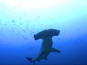 Tiburón martillo (hammerhead)