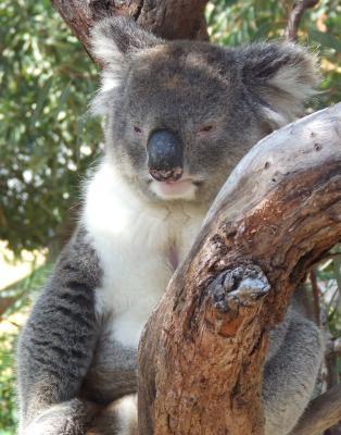 Koala at Yanchep