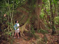 Corcovado National Park - Huge old growth trees