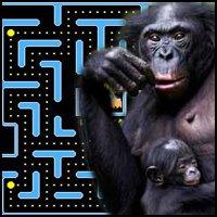 Bonobo Plays Ms. Pacman