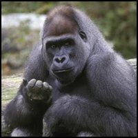 Gorilla Suspense