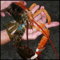 Calico Lobster