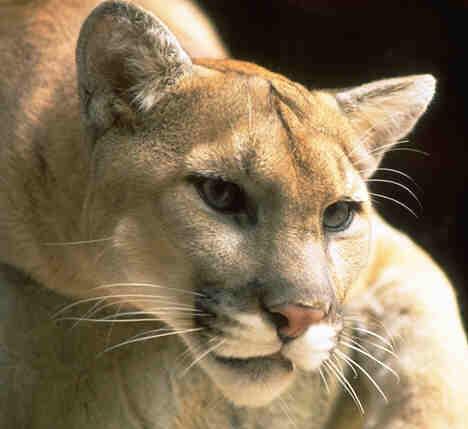 Le Phénomène Des Femmes Cougar
