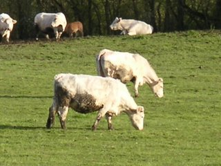 Vaches paissant dans un pré brennoux