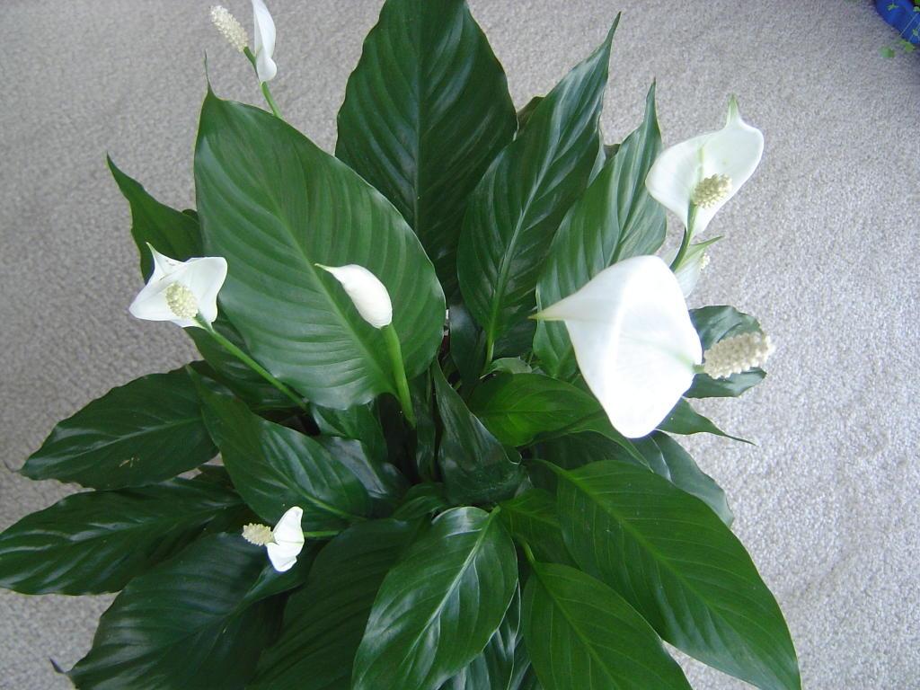 Kapalı Ortamdaki Havayı Temizleyen Çiçekler