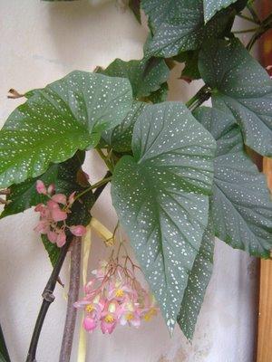 Yaprakl� Salon Bitkileri ve Bak�m�