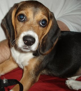 Our beagle puppy, Sofi