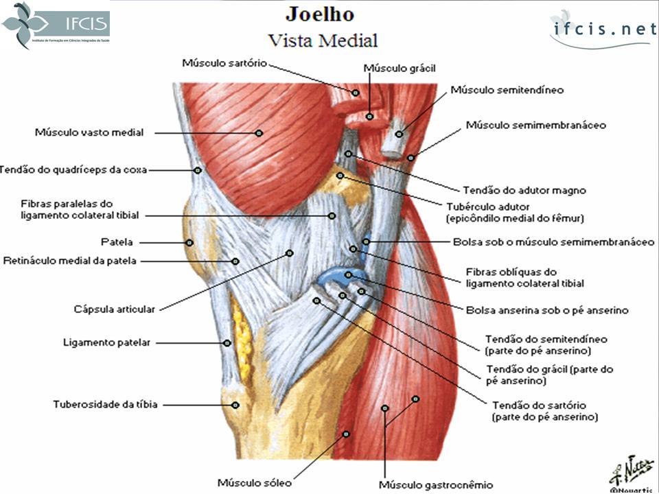 Increíble Colateral Medial Del Ligamento Anatomía Imágenes ...