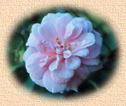 Lokelani Flower