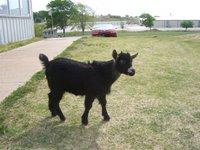 Filhote de cabra - Little goat