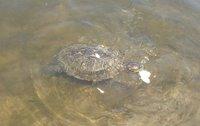 Alimentando as tartarugas - Feeding the turtles