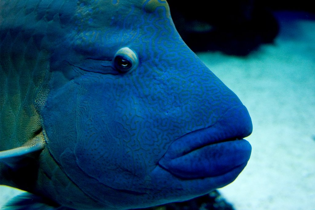 [Image: Blue%20Fish%20with%20Big%20Lips.jpg]