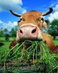 Eating grass like a beast