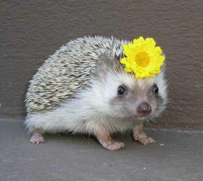 Hedgehog wearing a flower