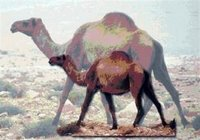Syrian Camel Syria (Evolution Research: John Latter / Jorolat)