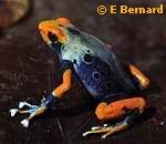 Frog Genus Dendrobates Biodiversity Corridor (Evolution Research: John Latter / Jorolat)