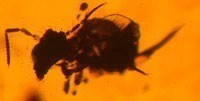 Collembola Amber Fossil Myanmar Burma Evolution Research
