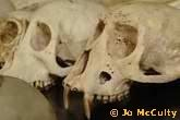 Diana Monkey Taung Child Ivory Coast Skull (Evolution Research: John Latter / Jorolat)