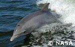 Dolphin Brain Intelligence (Evolution Research: John Latter / Jorolat)