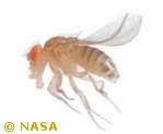 Drosophila melanogaster fruit-fly organ development homeostasis (Evolution Research: John Latter / Jorolat)