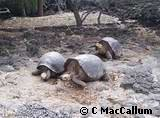 Island Rule Giant Tortoises Galapagos Islands (Evolution Research: John Latter / Jorolat)