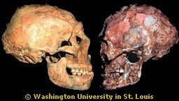 Neandertal Neanderthal Anthropology Skull Trinkaus Traits Anatomy (Evolution Research: John Latter / Jorolat)
