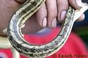 Twin-Spotted Rat-snake, Chinese Cornsnake (Evolution Research: John Latter / Jorolat)