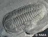 trilobite evolution research