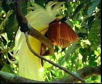 Lesser bird of paradise in full display