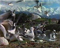Red billed gulls scavenging at a rubbish tip, Southern Alps, NZ in background.