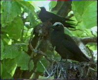 Pisonia the bird-catching tree with noddy tern.