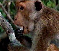Toque macaque