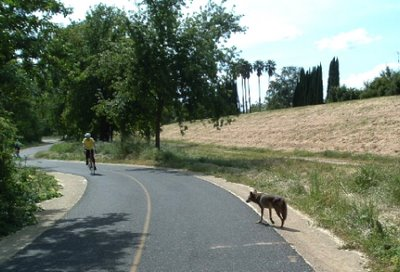 Image of bicyclist encountering a coyote on the American River Bike Trail near Sacramento