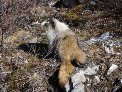 Marmotte (Alaska, USA, Amérique du Nord)