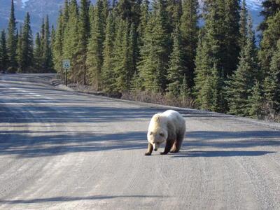 Ours dans le Denali Park (Alaska, USA, Amérique du Nord)