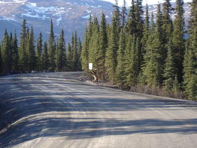 Ours jouant avec le panneau de signalisation dans le parc du Denali (Alaska, USA, Amérique du Nord)