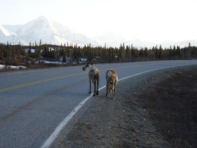 Des animaux sur la route (Alaska, USA, Amérique du Nord)