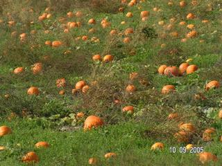 Pumpkin Patch - click for larger picture