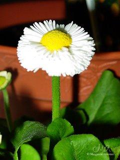 my little daisy