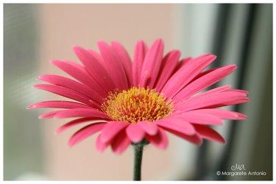 my daisy 2006