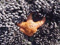 Starfish at Yahats, Oregon Tidepools (c) Kayar Silkenvoice