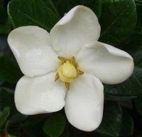 Gardenia (c) Kayar Silkenvoice