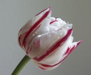 Crimson-striped white tulip, (c) KR Silkenvoice