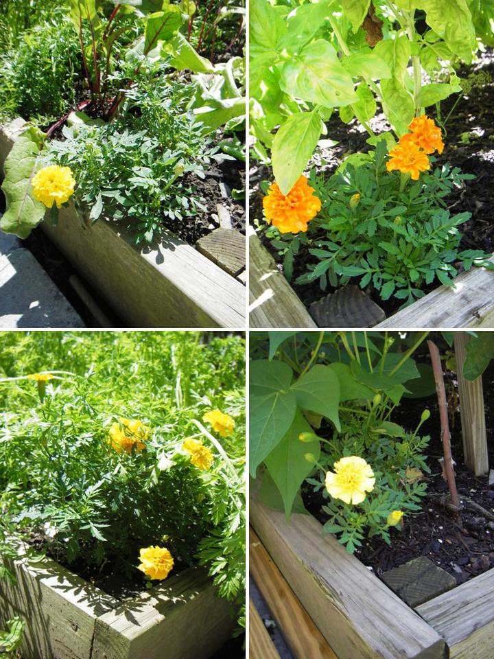 Skippy 39 S Vegetable Garden Marigolds