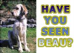 Help Susan find Beau, her English Setter who was stolen from Queensland.
