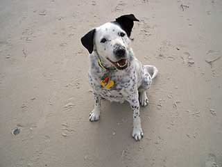 Treat? for me? do you have food? I'm sure you had some in your pocket earlier. In fact, I know you did. Can I have some. Yes I like the beach, but GIVE ME THE DOGGONE TREAT NOW. That's please, actually.