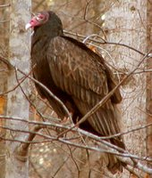 Turkey Vulture (found in Bugs Bunny cartoons)