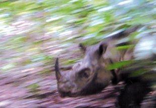 Borneo Sumatran Rhino