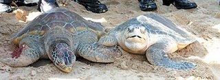 Borneo Turtles
